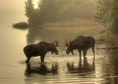 Foggy Morning Face-off (Hmm, wonder why the kids called me Amoose.)