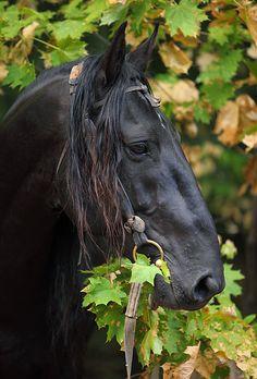 Kabardin stallion from Russia