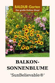 ROSA ENGELSTROMPETE !i winterharte frostharte Garten-Pflanze Samen Saatgut i