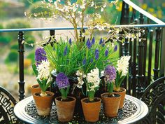 Traditional terra-cotta pots hold spring hyacinths and grape hyacinths on a patio display. Containers for plants come in a variety of shapes, sizes and materials. They can make a subtle or dramatic statement for a patio, terrace or backyard.