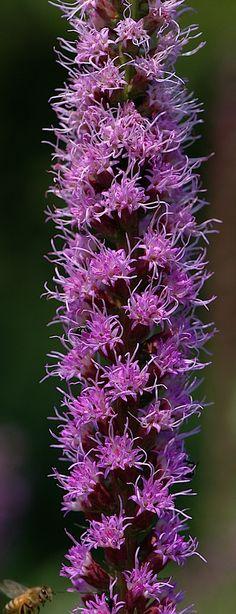 Purple Blooms of Long Narrow Flower - Long, Tall, Vertical Pins.
