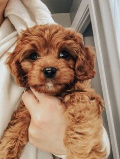 Cavapoo / Cavoodle Teddy Bear Puppy King Charles Cavalier Spaniel Poodle Mix – My CMS Teddy Bear Puppies, Cavapoo Puppies, Spaniel Puppies, Bear Puppy, Goldendoodles, Cavoodle Dog, Puppy Husky, Toy Cockapoo, Teddy Bear Poodle