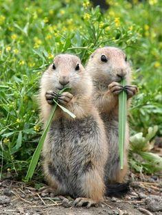 Chipmunks - http://www.facebook.com/pages/Pour-la-protection-des-animaux-et-de-la-nature/120423378016370