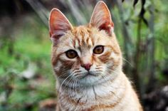 Orange tabby cats may seem fairly common at a glance, but it takes a particular combination of genetics to produce them. Find out how these popular cats get their signature look and the exact chromosonal combination required to make it happen.