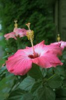 A striking hibiscus in bloom.