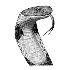 Beautiful pen and ink drawing of a cobra. Done by Scott Woyak.