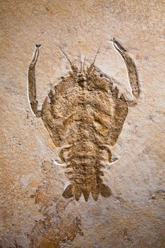 UNUSUAL JURASSIC FOSSIL LOBSTER Cycleryon sp. Upper Jurassic Solnhofen formation, Germany The Cycleryon is a lobster-like crustacean that possessed a heavily armoured carapace, thin claws, and strong legs for swimming.