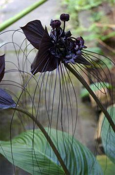 Black Orchid Photo: This Photo was uploaded by jaxtapoze. Find other Black Orchid pictures and photos or upload your own with Photobucket free image and. Dark Flowers, Unusual Flowers, Unusual Plants, Exotic Plants, Amazing Flowers, Beautiful Flowers, Rare Plants, Simply Beautiful, Purple Flowers