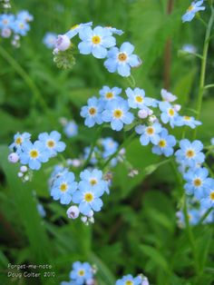 Forget-me-nots (Myosotis scorpioides) •Habitat: wet places, stream sides •Height: 6-24 inches •Flower size: 1/4 inch across •Flowering time: May to October  • Photo by Doug Colter