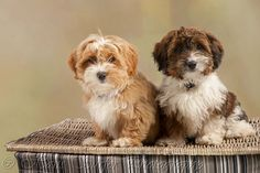 2 little Havanese pups in my studio