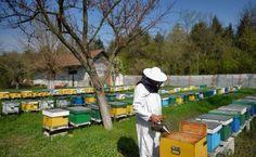 Du venin d'abeille pour combattre la sclérose en plaques, du pollen pour la digestion, du miel comme cicatrisant: la Roumanie cultive l'apithérapie, une médecine alternative dont les racines remontent à l'Antiquité. Dans la Grèce antique, Hippocrate appliquait du miel pour soigner les blessures et les Romains qualifiaient le pollen de «poudre qui donne la vie». …