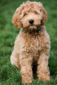Apricot Australian Labradoodle with wavy fleece coat Goldendoodle Miniature, Australian Labradoodle Puppies, Goldendoodles, Labradoodles, Cockapoo, Medium Goldendoodle, Golden Labradoodle, Cute Dogs And Puppies, Baby Puppies