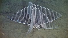 Characteristics of harp sponge revealed. Photo: 2012 MBARI. Read more about the sponge found at depths of 3,300 to 3,500 metres, this harp sponge (Chondrocladia lyra) looks deceptively whimsical and harmless http://www.xray-mag.com/content/characteristics-harp-sponge-revealed