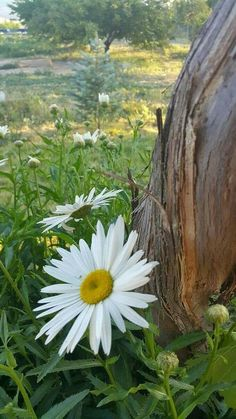 'I'd rather have a free bottle in front of me than a prefrontal lobotomy. Daisy May, Daisy Love, Happy Flowers, Wild Flowers, Amazing Flowers, Pretty Flowers, Flower Garden Pictures, June Flower, Sunflowers And Daisies