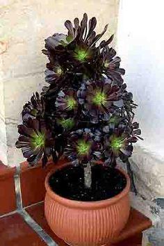 Genero Aeonium, Familia Crassulaceae, abarca especies pequeñas típicas de ambientes extremos muy áridos y muy fríos, con fisiología del hielo.
