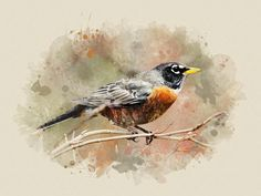 American Robin Watercolor Art, Robin Wall Art, Bird Prints, Fine Art, Watercolor Painting, American Robin, Bird Art Print, Wildlife Print by ChristinaRolloArt on Etsy