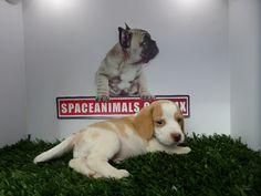 Compra venta de cachorros perros de raza Beagle Bicolor (limon) hembras y machos Spaceanimals.com.mx pedigree azul¡Ahorros hasta del 50%! de Descuento y 12 Meses Sin Intereses paga seguro con Pay Pal ,Ventas por Teléfono: (01)(229) 2.60.31.86 / (01229) 3.06.02.03 / ID Nextel 42*15*597183 Móvil 22.99.60.60.77 / 22.92.91.20.91 WhatsApp Si estás en el extranjero llámanos al +52 229 260 3186 Encuentra las Mejores Razas en www.VentadeCachor... ¡Compra Ahora!