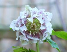 Hellebore Washfield Double #hellebore Bloom, Vegetables, Flowers, Plants, Vegetable Recipes, Plant, Royal Icing Flowers, Flower, Florals