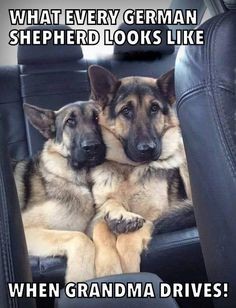 Okay these to babies are so very sweet looking! Love a German shepherd and 2 are even better