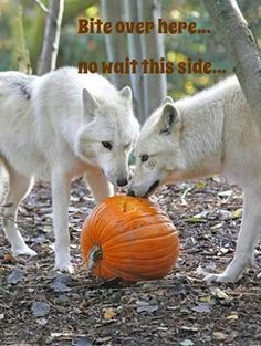 """Have a """"spooky"""" Howl..oween week.  Photo Woodland Park Zoo, Dennis Dow"""