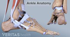 There are many different muscles and ligaments in the ankle that may be affected by strains and sprains. Learn more about the ankle's strength, flexibility, and range of motion.