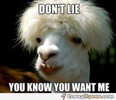 Funny llama meme
