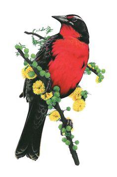Loica Chilena - técnica lápiz policromo  Marcela Castillo Arte Naturalista, Tattoo Illustration, South America, Animals And Pets, Flora, Pokemon, Tropical, Birds, Photo And Video