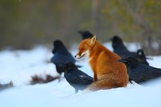 Red fox sits among Ravens.    Source