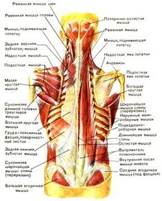 Muscles of Buttock, Hip and Pelvis Laminated Anatomy Chart ...