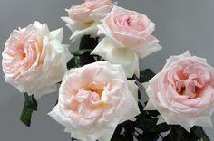 Prince Jardinier Rose from the Tambuzi Farm in Kenya. Easy order garden roses online @ www.parfumflowercompany.com