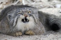 The Manul Cat. A very, very primitive feline. Their round pupils give them a disturbingly human-like appearance. Also they make hilarious faces like this oneomgwtfzocute. Haha Funny, Funny Cute, Funny Memes, Cat Memes, Hilarious Jokes, Freaking Hilarious, Memes Humor, Funny Stuff, Felis Manul