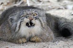 マヌルネコ > 中央アジアのスッテプ地帯に棲息する小型の野生ネコ。体長:46〜65cm、体重:2.5〜4.5kg。> 独特の威嚇行動することで知られています。威嚇中のマヌルネコ。