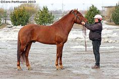 Finnhorse - stallion Turbo-Urpo