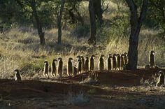 Meerkat picnic