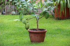 A citromfa metszése: tudod, mikor van itt az ideje? Bonsai, Gardening, Plant, Lawn And Garden, Horticulture, String Garden