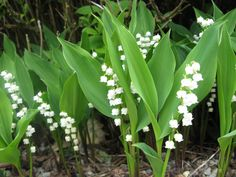 The French tradition of giving lily-of-the-valley flowers on May Day is supposed to have begun on May 1st, 1561, when King Charles IX of France was presented with a bunch of lily-of-the-valley flowers as a token of luck and prosperity for the coming year. The king  took a shine to this idea and began the custom of presenting lily-of-the-valley flowers to the ladies of his court each year on May 1st.