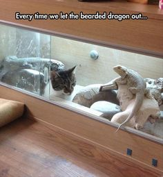 When we let the bearded dragon out......