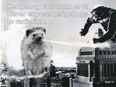 ♥ Pet Hedgehog ♥  hedgehog vs King Kong