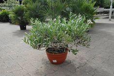 kleine olijfboom in schaal 18,99 Trachelospermum Jasminoides, Cupressus Sempervirens, Prunus, Peach