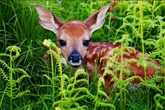 Whitetail does will sometimes leave their fawns while they gather food, and the fawns will lie still so as not to be detected by predators.