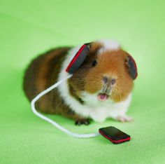 guinea pigs in costumes - Google Search
