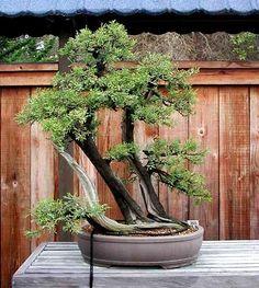Juniperus californica 01 ******************************* Khẩu trang than hoạt tính cao cấp NeoVision bảo vệ sức khoẻ con người chống không khí ô nhiễm. Sản xuất & phân phối bởi Cty NeoVision - Hotline:0909.523.548