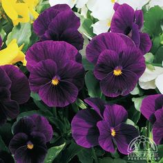 Viola cornuta 'Penny Violet'. Cousin to 'Penny Black', this pansy is a saturated purple.
