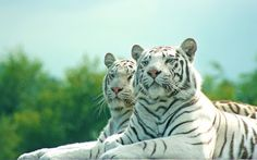 White tigers by cherrypieman on deviantART