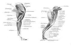 Muscle Anatomy Back Shoulder Anatomy Back, Dog Anatomy, Animal Anatomy, Muscle Anatomy, Anatomy Study, Best Dog Breeds, Best Dogs, Animal Movement, Dog Leg