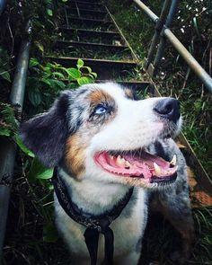 Happy Liko climbing stairway to heaven. Australian Shepherd(Oahu Hawaii) #dogpictures #dogs #aww #cuteanimals #dogsoftwitter #dog #cute