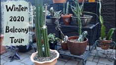 Balcony Garden, Cacti And Succulents, Container Gardening, House Plants, Sassy, Cactus, Around The Worlds, Tours, Videos
