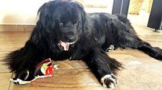 """Neufundländer Wynia Unter """"lecker Abendessen"""" hatte ich mir eigentlich etwas anderes vorgestellt…   #Hundename: Wynia / Rasse: #Neufundländer      Mehr Fotos: https://magazin.dogs-2-love.com/foto/neufundlander-wynia-3/ Foto, Hund, Hundefutter"""