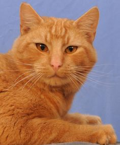 Adoptable Cat: Gordon #pets #animals #adoption #rescue #cat