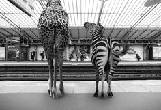 Clarisse-Rebotier-Parijs-Zoo-frankrijk_nl 7 De surrealistische plaatjes zijn gemaakt door de Franse fotografe Clarisse Rebotier in samenwerking met Thomas Subtil. Humoristische foto's in zwart/wit die bovendien een knipoog zijn op ons gedrag als mens/reiziger in de metro. Op de site van Clarisse vind je de gehele fotoserie